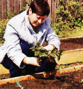 созревания садовой земляники