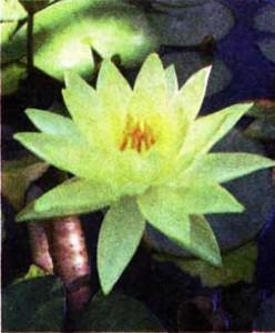 Нимфеи — водяные лилии