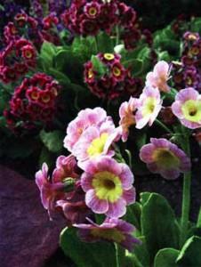 раноцветущие цветы — примулы