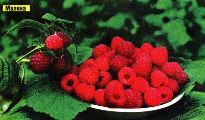 о ягодниках