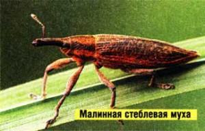 малинной стеблевой мухи.