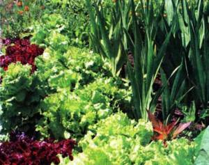 растений-репеллентов