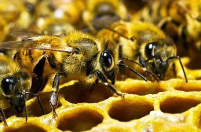 Эволюция пчел