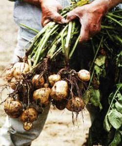 скашивают картофельную ботву