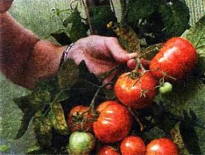 Выращиванием томатов