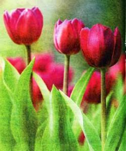 Тюльпаны долго цветут