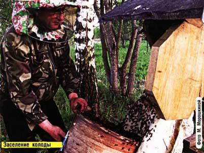 мед из колоды