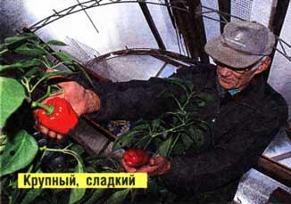 перцы и томаты