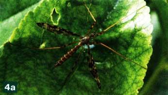 Крупные комары