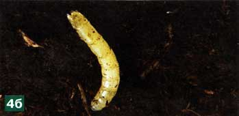отродившиеся личинки