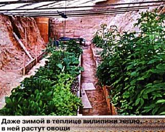 плодоносят томаты