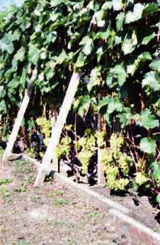 показывал виноград