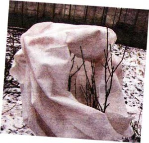 утеплять хризантемы