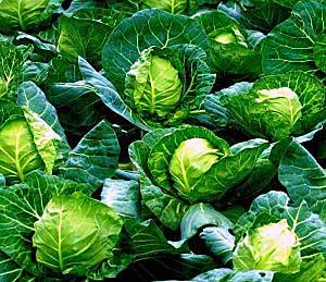 используют листья капусты