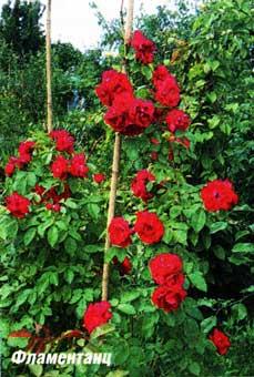 цветения розы