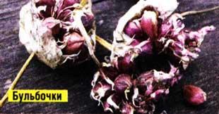 выращивании зимнего чеснока