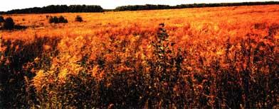 Цветет золотарник