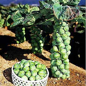 капусты брюссельской