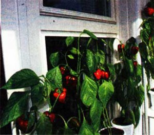 Сладкий перец на окне