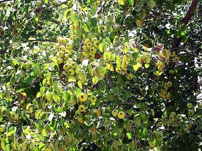 плодах груши
