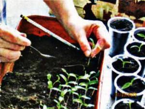 пикировать все растения