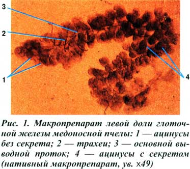 Гипофарингеальная железа
