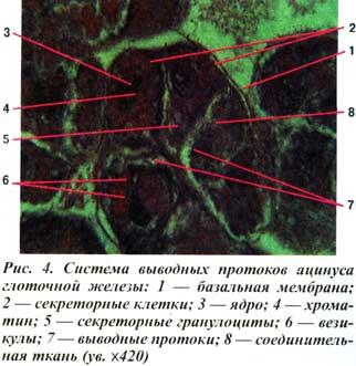 глоточной железы