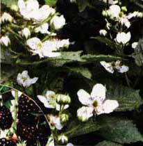 цветет ежевика