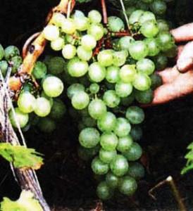 Посадите виноград
