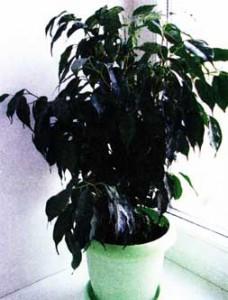 растение можно пересадить