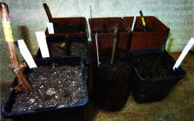 проращивает черенки винограда