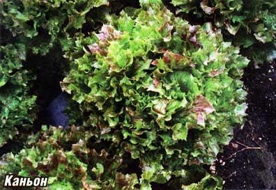 выращивания салата
