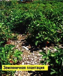 земляничную плантацию