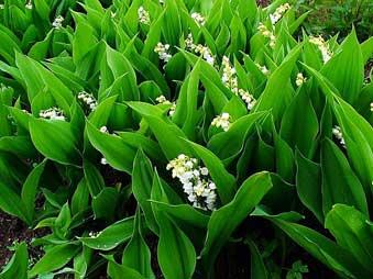 Цветки и листья ландыша