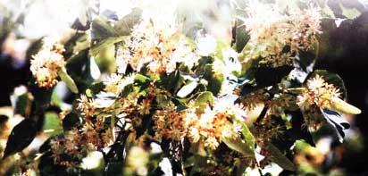 медоносной флоры