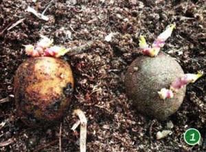 озеленять семенной картофель