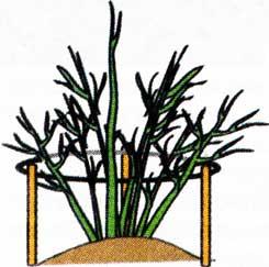 сохранить урожай смородины