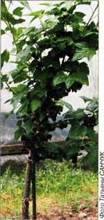 деревце из смородины