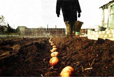 о причинах вырождения картофеля