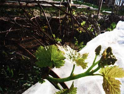 открывать виноград