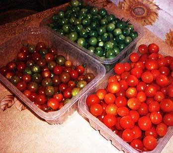высаживаю рассаду томатов