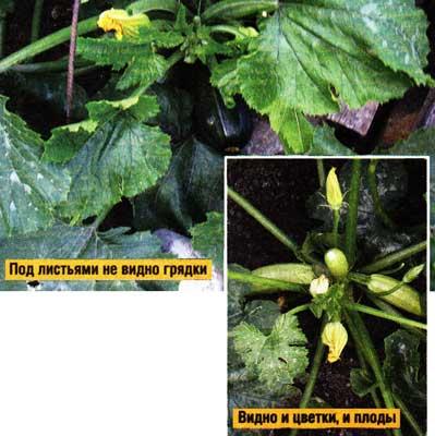по выращиванию кабачков