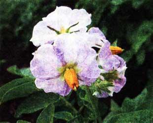 время цветения картофеля