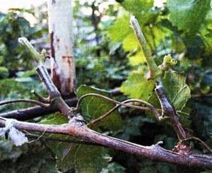 обрезки виноградных кустов