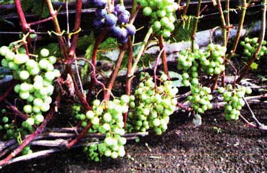 виноград как культура