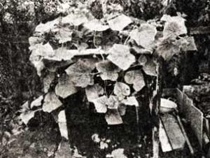 плети огурца