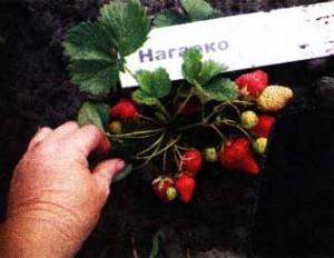 ягодами земляники