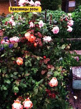 красивейшие розы