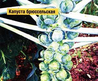 убрать капусту брюссельскую