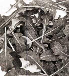 руккола